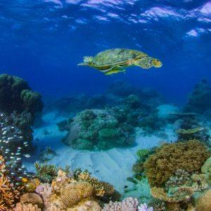 Green Sea Turtlle