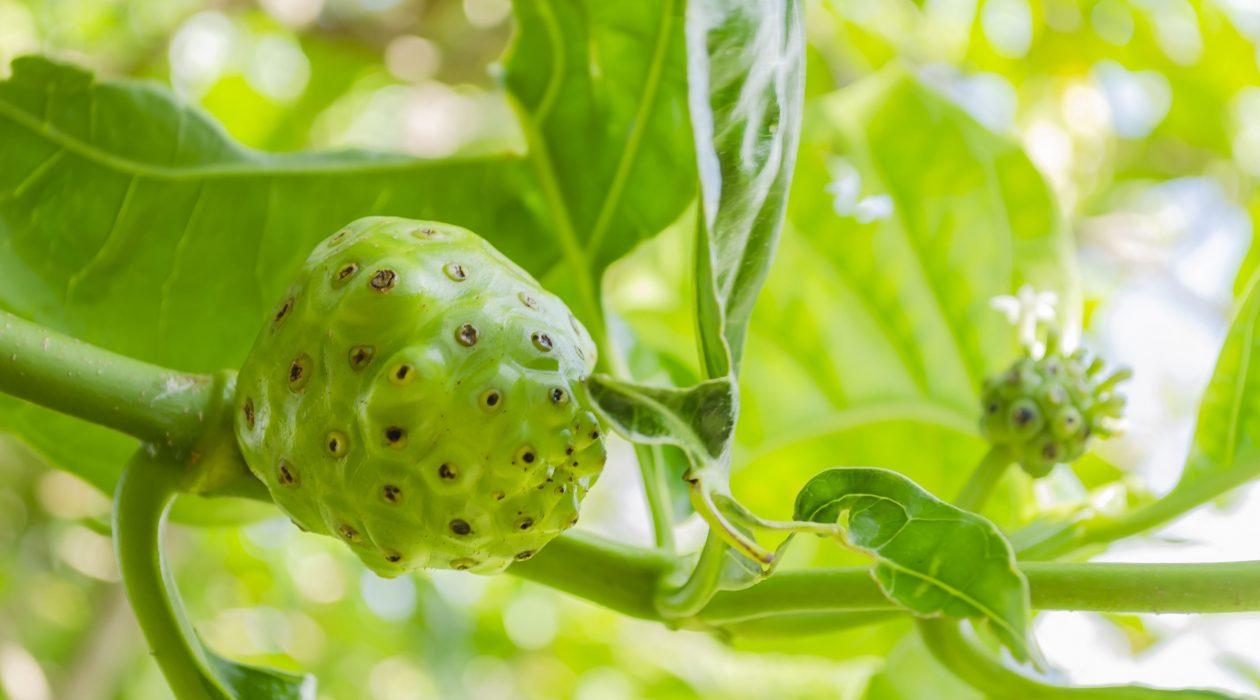 Cheesefruit tree